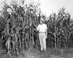 Field of hybrid corn, ca. 1945.