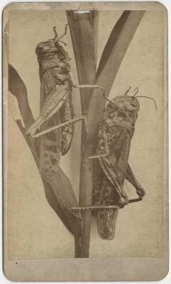 Minnesota locusts of the 1870s