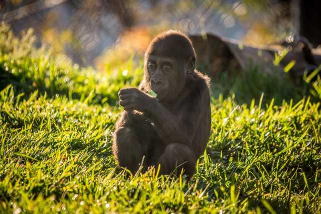 Baby gorilla in the Gorilla Forest exhibit, Como Zoo