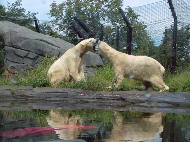Polar bears Buzz and Neil in their habitat at Como Zoo