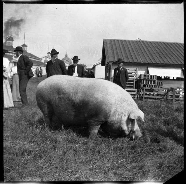 Black and white photograph of swine on display, 1905.