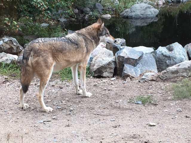 Boltz, an ambassador wolf