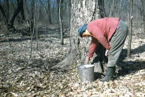 Color acetate film slide of Violet Weyaus gathering maple syrup on the Lake Mille Lacs Reservation on April 19, 1947. Photographed by Monroe P. Killy.