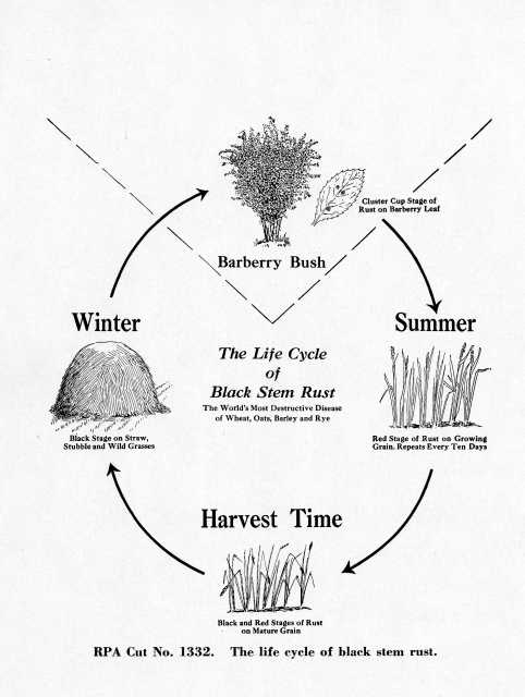 Diagram showing the different stages of black stem-rust disease—the kind that attacks the barberry bush. Date unknown.