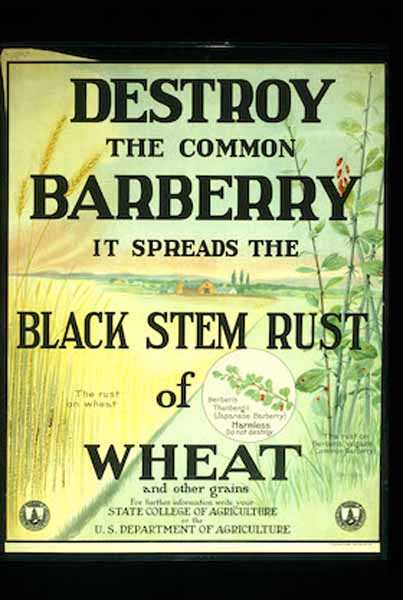 Publicity poster to promote destruction of barberry bushes—an example of public education about barberry eradication. Date unknown.