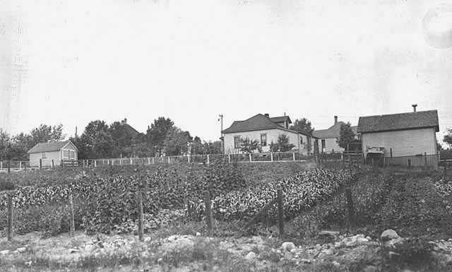 Oliver Mining Company employee gardens, 1923. Oliver Mining Company allowed employees to plant and harvest from gardens within their communities. This garden was located in Fayal Location, near Eveleth.