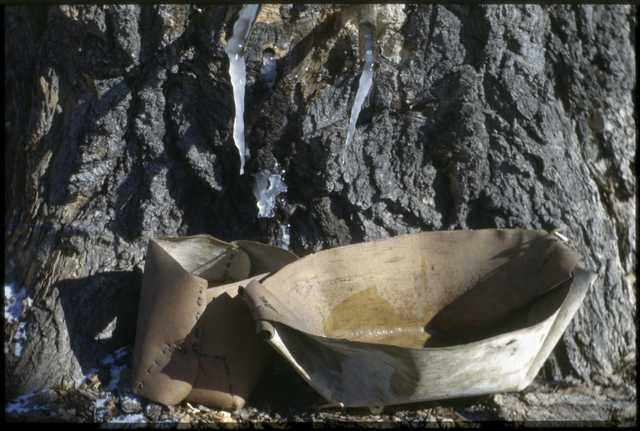 Maple sap icicle, Mille Lacs