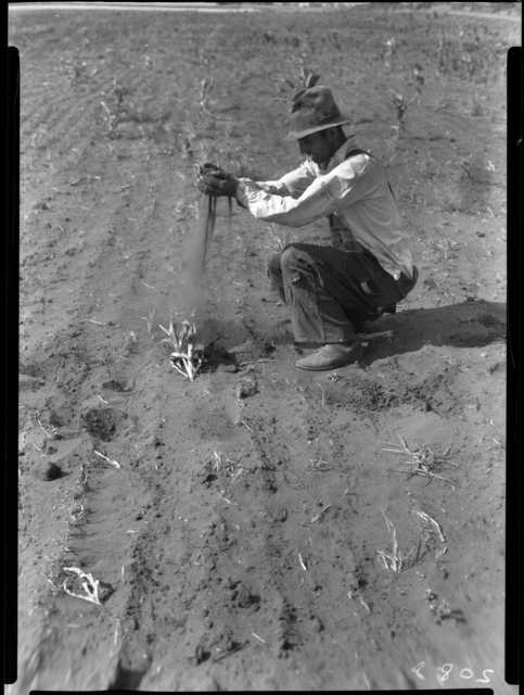 Black and white photograph of a combination of cut worms and heat has destroyed the corn on this farm, six miles east of Appleton in Swift County, 1936.