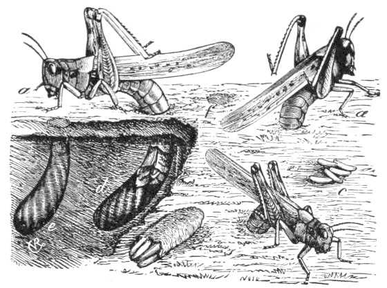 An illustration of an adult female locust placing her eggs in soil, 1877.