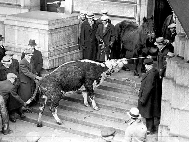 Black and white photograph of a starving cow and horse brought to the State Capitol by farmers to dramatize their demands for relief, 1935.
