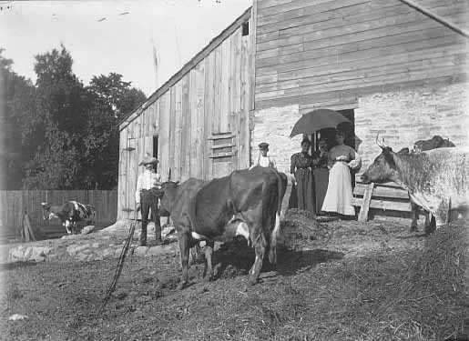 Cows in farmyard at Spangenberg farm