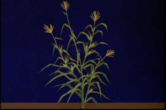Drawing of how the teosinte plant may have looked thousands of years ago. Used in the Disney short film The Grain That Built a Hemisphere, 1943.