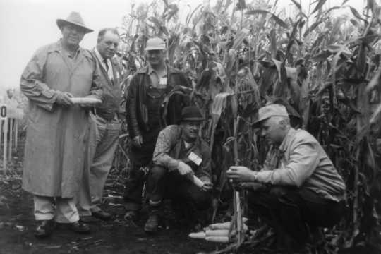 Black and white photograph of individuals evaluating stalks and ears of the corn in a field to select the best seed for the following year, c.1940s.