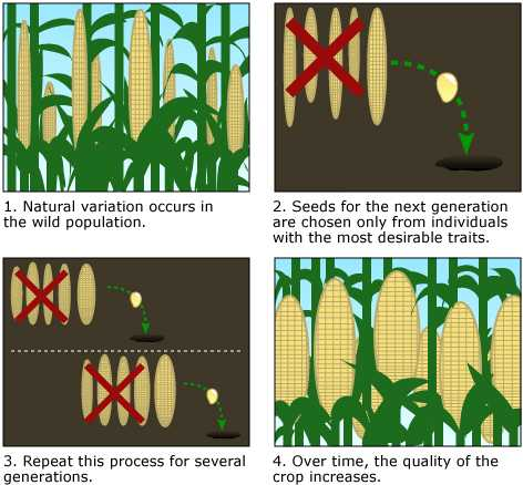 Color drawing of the four steps involved in the selective reproduction of better seed.