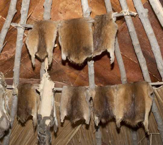 Tanned muskrat pelts