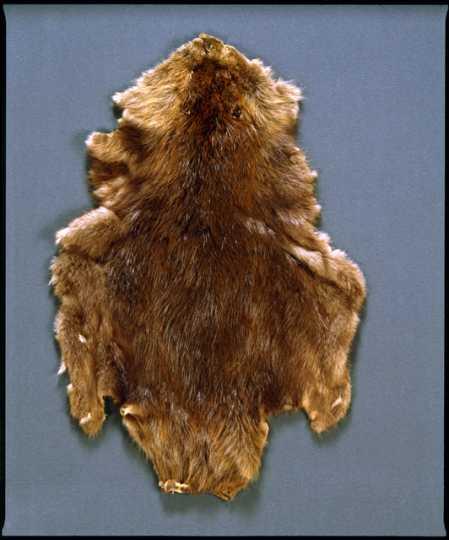 Tanned beaver pelt