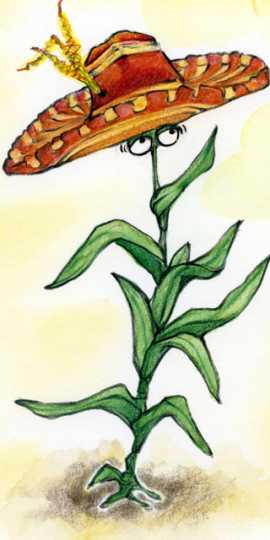 Drawing of a maize or corn plant enjoying warm weather in Southern Mexico. Drawing by Emmeline Hall.