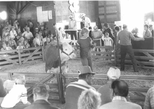 Black and white photograph of a 4-H livestock auction at the Murray County Fair, ca. 1980s.
