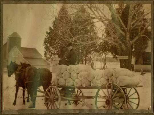 A.B. Lyman transports Grimm alfalfa seeds from his farm, Alfalfadale, near Chanhassen.  Circa 1902-1910.