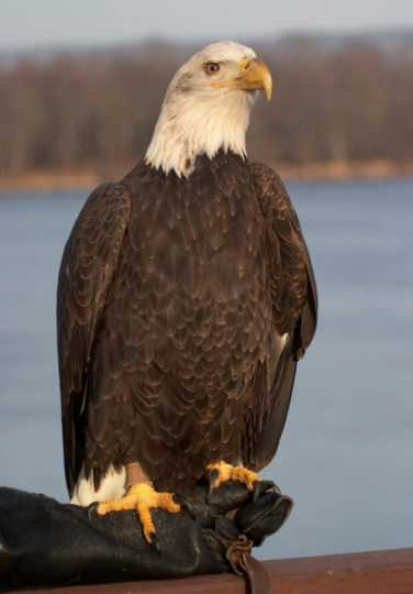 Color image of Angel, a female bald eagle and one of the National Eagle Center's first ambassadors.