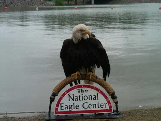 Color image of Angel, a female bald eagle and one of the National Eagle Center's first ambassadors, perches on top of the center's sign.