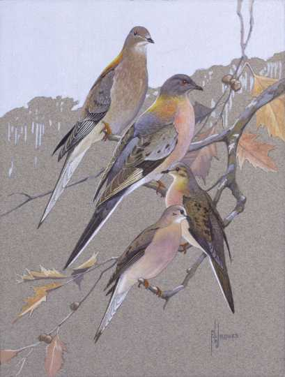 Passenger Pigeons and Mourning Doves