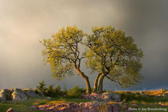 """Color image of the """"Three Sisters"""" tree in Blue Mounds State Park, 2005."""