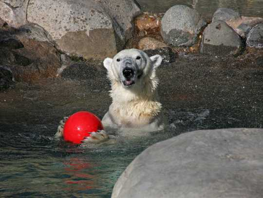 Photograph of Berlin the polar bear playing with a ball on her eighteenth birthday, 2007. Photo by Lake Superior Zoo.