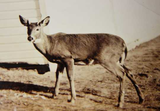 Photograph of Billy the deer at four years old, Lake Superior Zoo, ca. 1927.