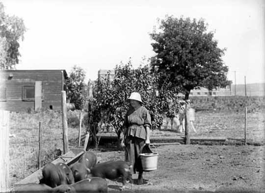 Incarcerated woman feeding pigs
