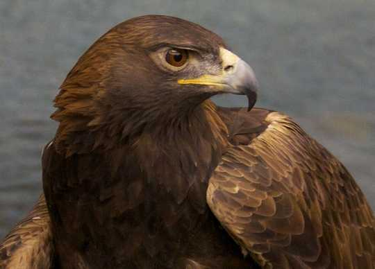 Color image of Donald, a male golden eagle and National Eagle Center ambassador.