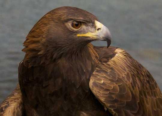 Color image of Donald, a male golden eagle and National Eagle Center ambassador.