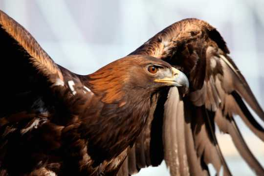 Color image of Donald, a male golden eagle and National Eagle Center ambassador, spreading his wings. Photographed by Janet Killian.