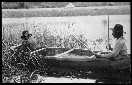Men harvesting wild rice