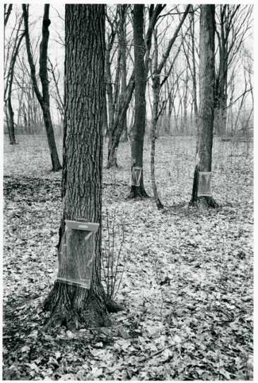 Maple trees in maple sugar camp