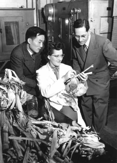 Black and white photograph of Entomology professor Henry C. Chiang (left) inspecting corn stalks for signs of corn borers with F. G. Holdaway and Jeanne Marie Hellberg, 1951.