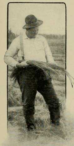 Field worker examining Wire Grass, c.1903.