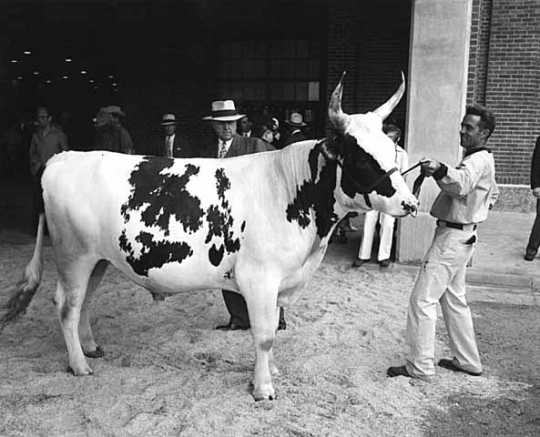 Black and white photograph of a cow being exhibited at the Minnesota State Fair, 1947.