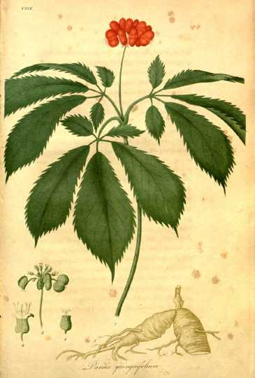 "Colored Engraving of Ginseng by Jacob Bigelow (1786-1879).[From WikiCommons] ""American medical botany being a collection of the native medicinal plants of the United States, containing their botanical history and chemical analysis, and properties and uses in medicine, diet and the arts"" by Jacob Bigelow,1786/7-1879. Publication in Boston by Cummings and Hilliard,1817-1820."""