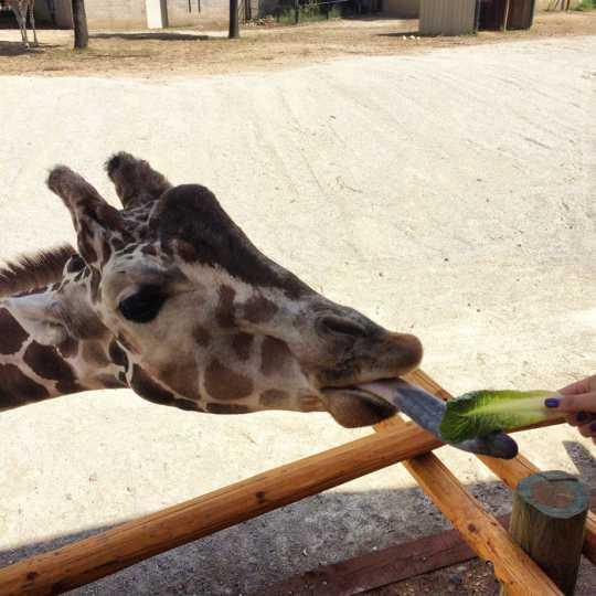 A giraffe at the giraffe feeding station at Como Zoo