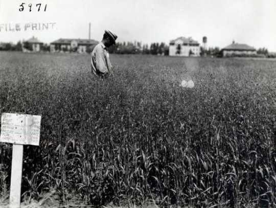 Black and white photograph of Grain Fields at the Northwest Experiment Station.