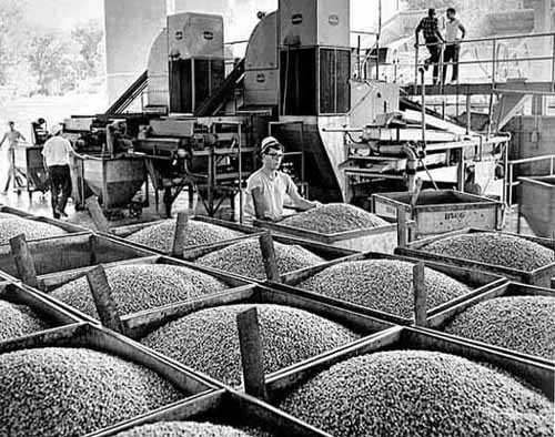 Canning peas, Green Giant Company, LeSueur.