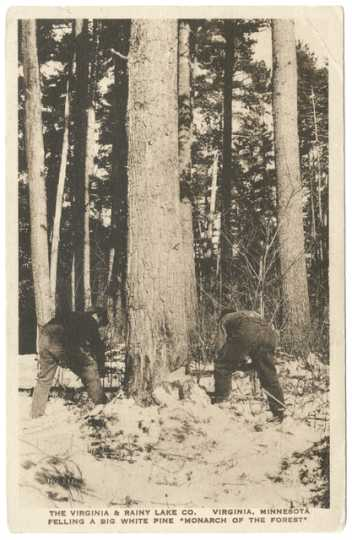 """Lumberjacks fell a white pine, the """"Monarch of the Forest,"""" for the Virginia and Rainy Lake Company, ca. 1928."""