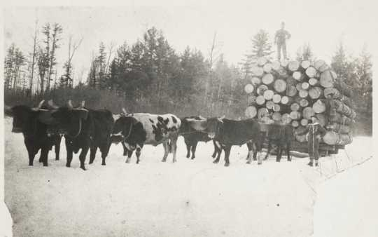 Oxen pulling a sled of white pine logs near Hinckley in Pine County, 1885.