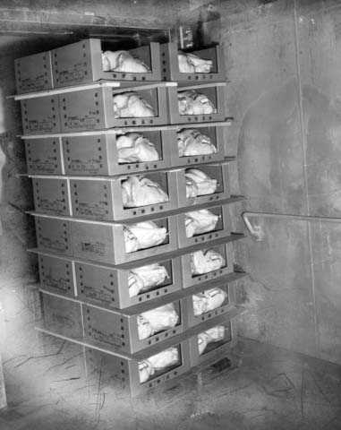 Black and white photograph of turkeys that are ready to be put into the freezer, Farmers Produce Company, Willmar, ca. 1960.