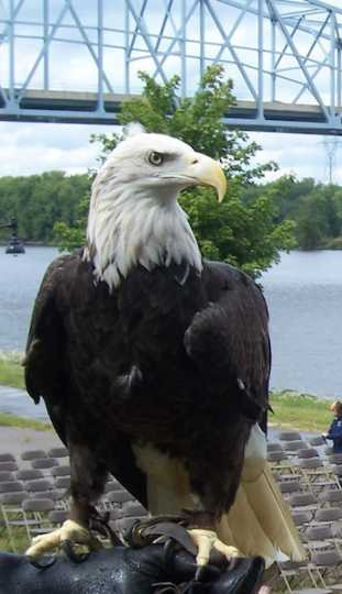 Color image of Harriet, a female bald eagle and one of the National Eagle Center's first ambassadors.