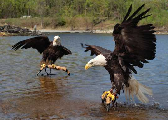 Color image of Bald eagles Harriet and Angel: the National Eagle Center's first ambassadors.
