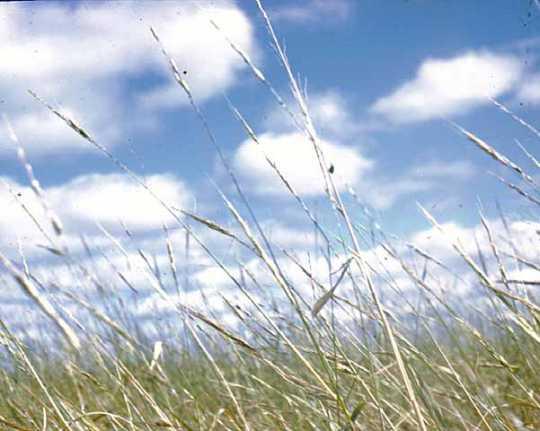 Wild rice growing at Nett Lake