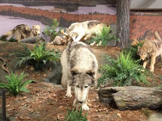 Exhibit at International Wolf Center