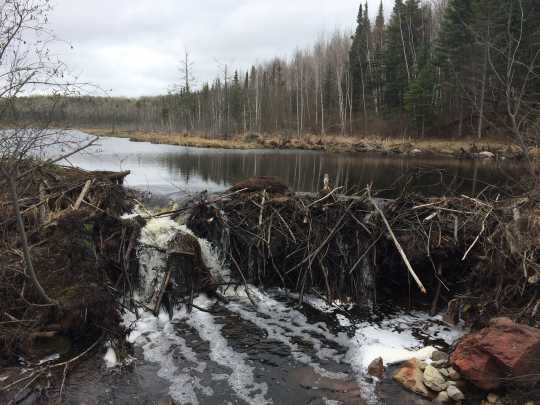Color image of a Beaver dam in Lake Vermilion–Soudan Underground Mine State Park. Photograph by Minnesota Department of Natural Resources Staff, May 21, 2014.